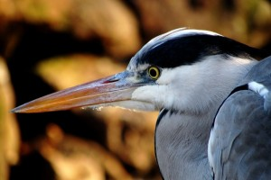 They're beautiful nature-bird-animal-heron-largebird-animal-united-states-of-america-bald-eagl